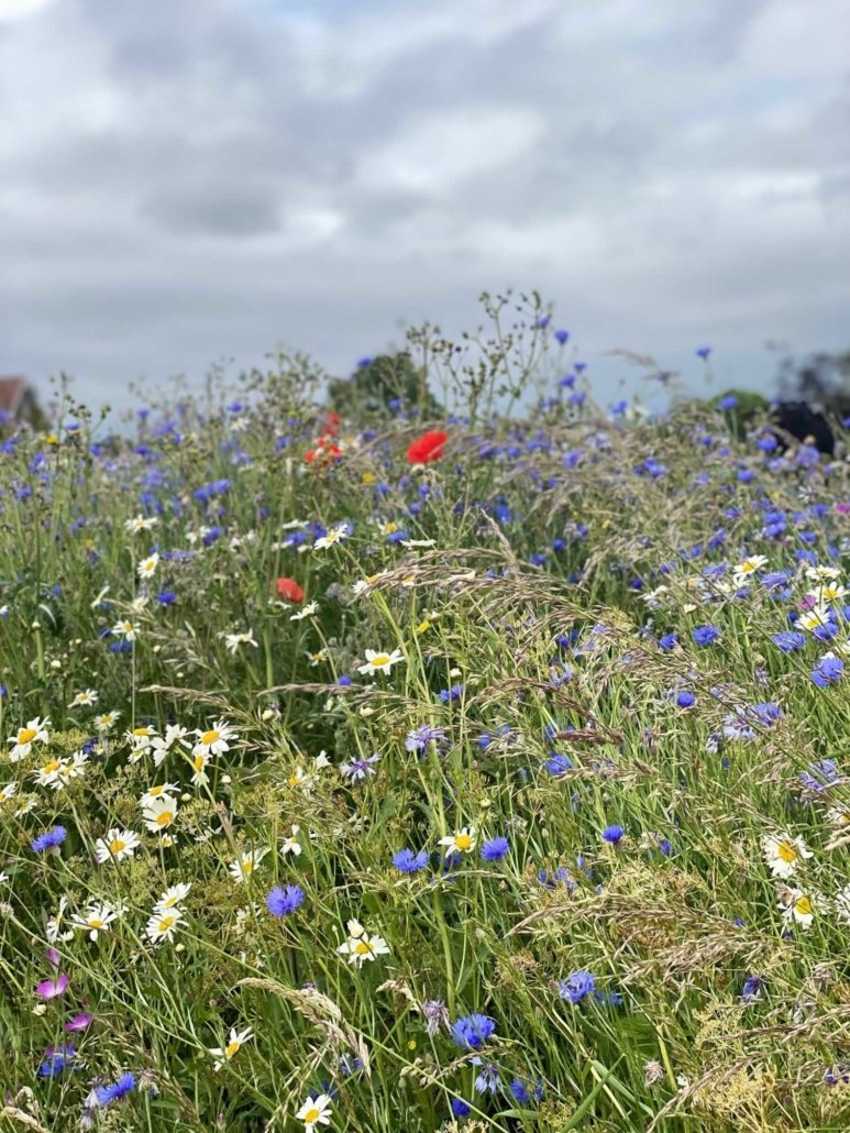 Wildflower Meadow at Hall Farm Dadlington