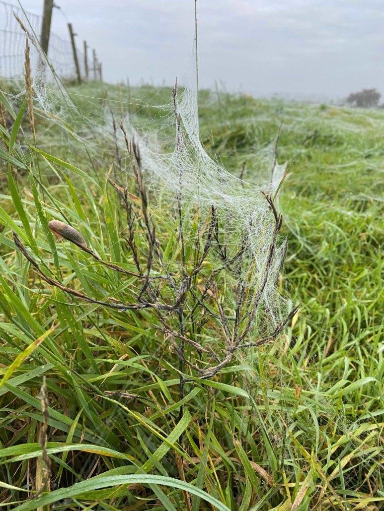 Dewy spring cobwebs at Hall Farm Dadlington